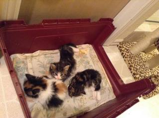 Available Kittens and Cats - oklahomacats.com - Norwegian Forest Cats